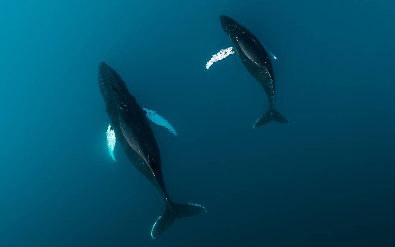 Humpback whales (Megaptera novaeangliae) photo: Michael Schauer